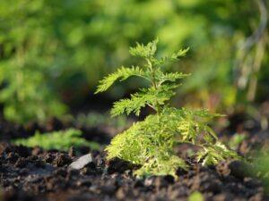 Weshalb wird der Einsatz von Artemisia von der WHO verhindert?